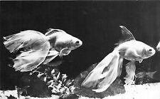 B22359 Peche Fish Carassius Auratus Auratus Constanta