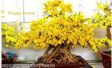 WINTERSWEET - Chimonanthus praecox - 10 BONSAI SEEDS