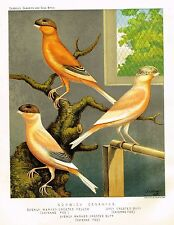 "Cassell's Bird Chromolithograph - ""NORWICH CANARIES"" by Ludlow - 1880"