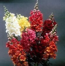 Snapdragon Madame Butterfly Mix 30 seeds  Garden Seeds 2u