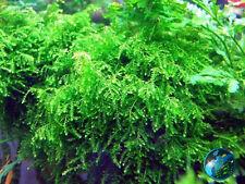 Weeping Moss-for fontanus live pellia aquarium plant A8