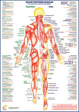 Anatomical, Exercise, Medical Wall Chart / Poster