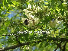 Falsa acacia, Robinia pseudoacacia , 50 semillas ,seeds , graines , samen