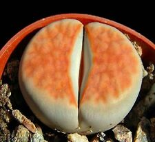 Lithops Karasmontana ORANGE ICE, rare living stones rare mesembs seed - 15 SEEDS