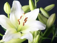White Hybrid LA lily flower bulbs- set of 6 bulbs