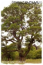 Quercus robur 'English Oak' [Ex. North Yorkshire] 6 SEEDS