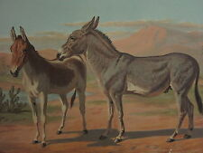 1880 CHROMOLITHOGRAPH HORSE PRINT ~ ABYSSINIAN WILD MARE ASS & FEMALE ONAGER
