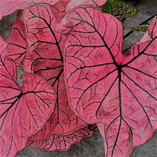 Caladium Spring Fling (Bulbs) Great color in the shade. for pots.