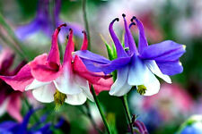 DWARF COLUMBINE! 25 SEEDS! MIX OF PURPLE,BLUE,PINK & WHITE COLORS! COMB. S/H!