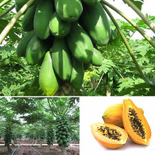 8Pcs Home Garden Maradol Papaya Seeds Vegetable Fruit Tree Plants Seeds Outdoor