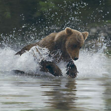 BEAR ART PRINT - Making a Splash by Terry Isaac Wildlife River Poster 22x22