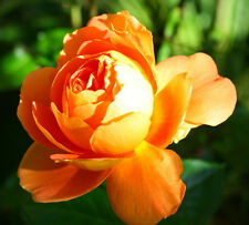 100 Seeds Fresh Hot Orange China Rare Rose Beautiful Flower Seed To Your Lover
