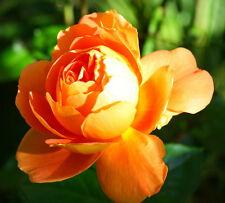 100 Orange Rare Rose Seeds Fresh Rose Seed For Lover
