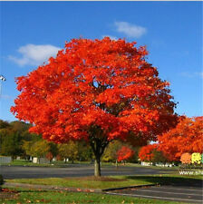 100 North American Maple Seeds Tree Seeds Bonsai Home & Garden Free Shipping 1
