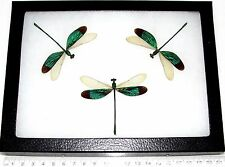 REAL ARRANGED GREEN INDONESIAN DAMSELFLIES DRAGONFLIES FRAMED INSECTS D3