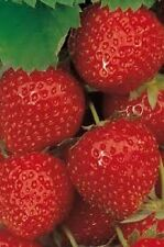 "STRAWBERRY ""TRISTAN""  100+ seeds"