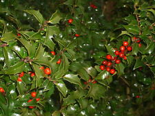 20 DRAGON LADY HOLLY SEEDS - ILEX X AQUIPERNYI