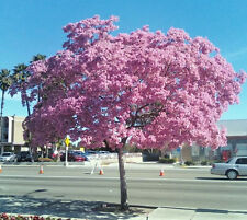 Tabebuia heterophylla- pink trumpet tree exotic flowering white cedar,  10 seeds