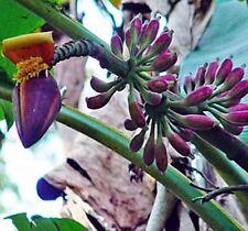 10 Seeds - Burmese Blue Banana - Musa itinerans