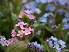 BLUE AND ROSE FORGET-ME-NOT MIXED FLOWER SEEDS / PERENNIAL