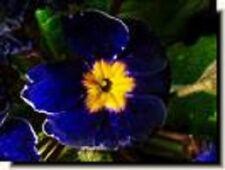 NEW! PRIMULA COBALT PRIMROSE FLOWER SEEDS   PERENNIAL