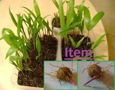 Acai Seeds Palm Euterpe Oleracea 20  DWARF Superberry from Brazil germinated