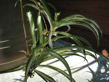 Lot of 12 Solid GREEN SPIDER PLANT Pups Air Purifying Chlorophytum comosum 200