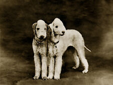BEDLINGTON TERRIER CHARMING DOG GREETINGS NOTE CARD TWO DOGS STANDING