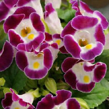 50 Torenia Seeds Torenia Kauai Burgundy Pelleted Seeds