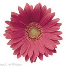 FESTIVAL ROSE GERBERA DAISY SEEDS BEAUTIFUL ROSE PINK