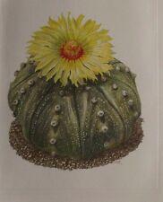 1957 Cactus Astrophytum Asterias  N°99 Walter Kupper Vintage