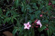 Cryptostegia grandiflora - El Goma Vid - 10 Semillas Frescas