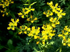 50 YELLOW RUE Herb of Grace Flower Seeds +Gift & CombSH