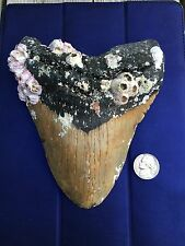 6 1/8 Inch MEGALODON Giant Shark Tooth Fossil *ALMOST 5 Inch WIDE*
