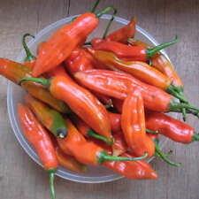 Capsicum annuum grossum / Piment Achard - lot de 20 graines