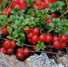 Mountain Cranberry 50 seeds Vaccinium Vitis-idaea *Wild Fruit * Edible #1B64