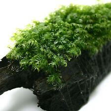 "Fissidens Fontanus 1.5"" x 1.5"" Mesh Live Aquarium Moss Plants - Tropical Fish"