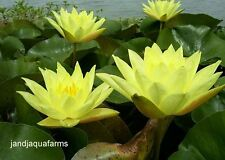 Large Yellow Hardy Water Lily lovely brilliant blooms J and J Aquafarms