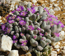 Gibbaeum pubescens living stones exotic rare mesembs rock cactus seed 50 SEEDS