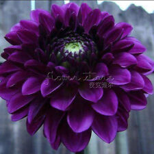 Free Shipping 100 Boogie Nights Dahli Seeds Amazing DIY Home Gardening 2