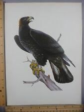 Rare Original VTG Golden Eagle Full Color Bird Illustration Art Print