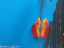 Flame Wrasse Male Hawaiian Live Saltwater Aquarium Fish Hawaii Fairy Wrasse RS