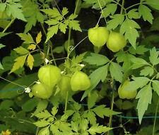 BALLOON VINE Cardiospermum Halicacabum - 10 Seeds