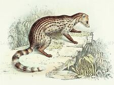 PAINTING ANIMAL POLLEN VAN DAM SMALL INDIAN CIVET ART PRINT LAH454A