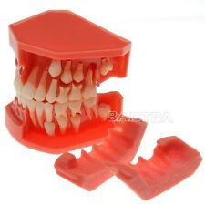 Dental Teeth Permanent Tooth Model Alternate Demonstration Study Teach 4006#