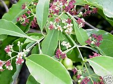 East Indian or White Sandalwood Seed Small Tree Drought Tolerant Medicinal Plant