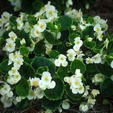 Begonia- White- 50 Seeds - 50 % off sale