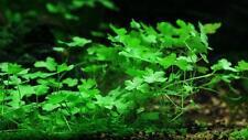 *Hydrocotyle tripartita 'Japan' Live Aquarium Plant