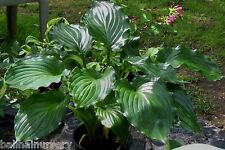 New Hosta Irish Luck glossy dark green leaves good garden plant