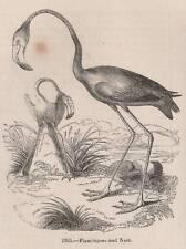 Genuino 1847 impresión Flamingo Ave Wader África América del Sur Caribe flamencos